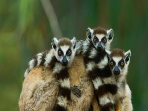 Postal: Lémures de cola anillada en Madagascar