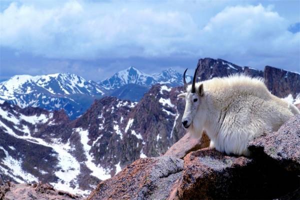 Cabra blanca en el Monte Evans (Colorado)