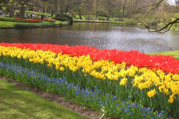 Narcisos amarillos y tulipanes rojos en los jardines de Keukenhof