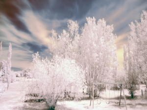 Postal: Columpio junto a unos árboles blancos