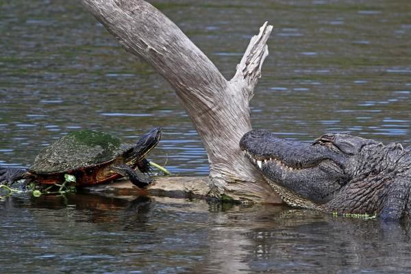 Una tortuga y un cocodrilo sobre el mismo tronco en el agua