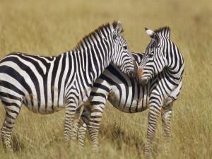 Cebras juntando los hocicos