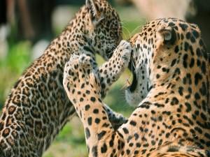 Cachorro de leopardo jugando con mamá