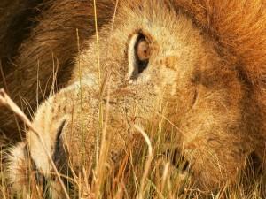 La cabeza de un león sobre la hierba seca
