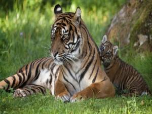 Cachorro de tigre lamiendo a su mamá