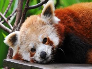 Postal: Panda rojo tumbado sobre una tabla