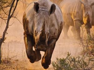 Postal: Rinoceronte corriendo