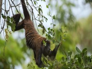 Un mono comiendo hojas entre las ramas