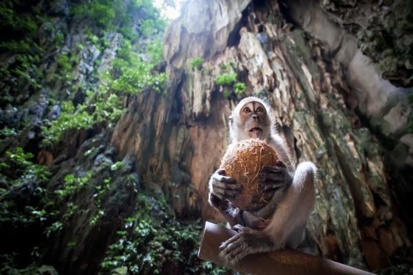 Mono sosteniendo un coco