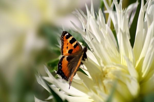 Mariposa sobre una flor de pétalos blancos