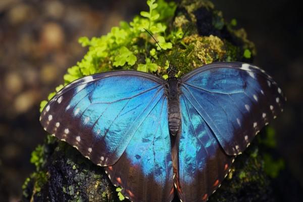 Gran mariposa azul posada en una roca