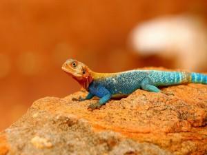 Lagarto azulado sobre una roca