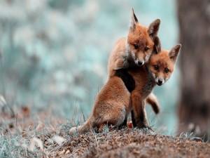 Dos pequeños zorros