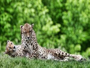 Pareja de guepardos sobre la hierba