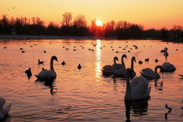 Cisnes y patos en un lago
