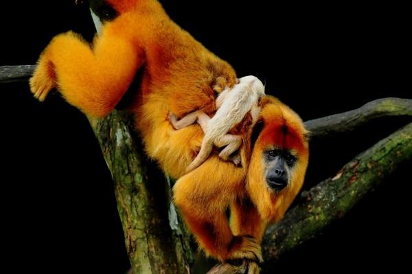 Un mono naranja con su pequeña cría sobre el lomo