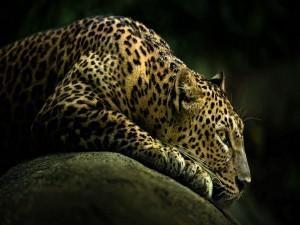 Leopardo tumbado sobre una roca