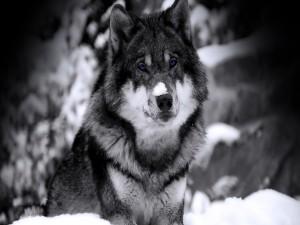 Postal: Un hermoso lobo con nieve sobre el hocico