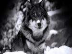 Un hermoso lobo con nieve sobre el hocico