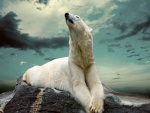 Oso polar descansando