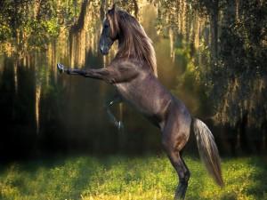 Un hermoso caballo de color oscuro sobre las patas traseras