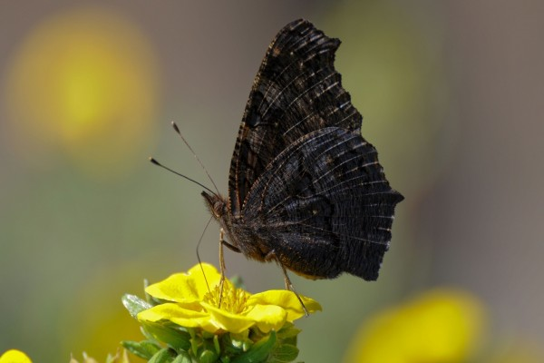 Mariposa oscura sobre una flor amarilla