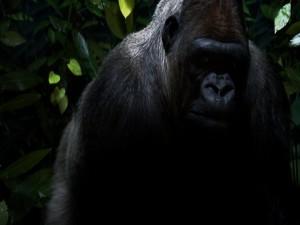 Gran gorila