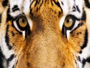 Postal: Intensa mirada de un tigre