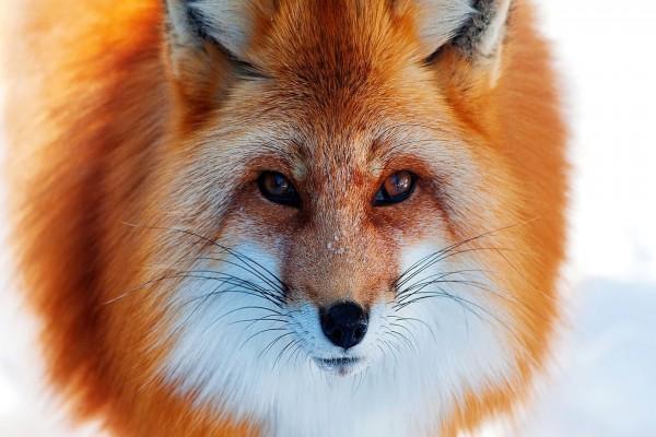 Un hermoso zorro