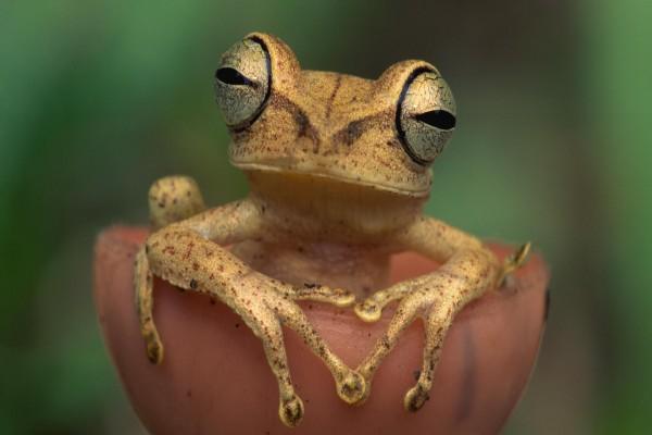 Una rana de grandes ojos
