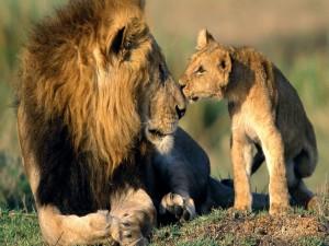 Cachorro de león besando a papá