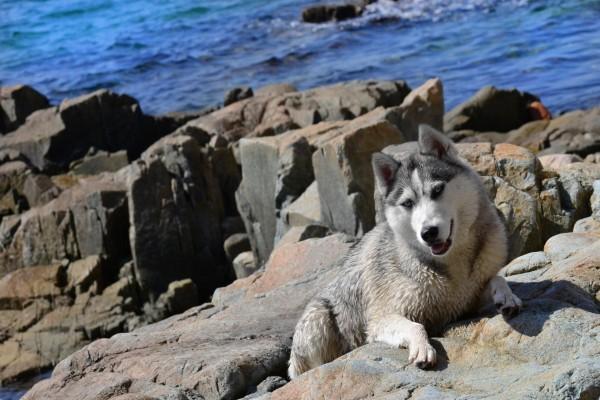 Un husky entre las rocas
