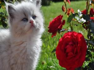Postal: Gatito blanco junto a un rosal