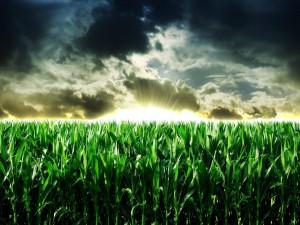 Amanecer en un campo de maíz