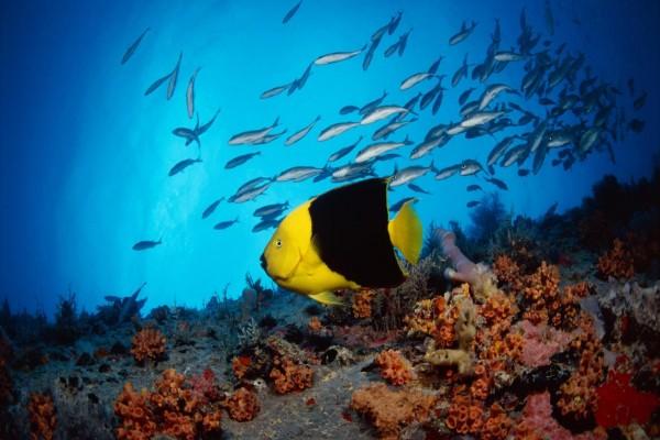 Pequeños peces junto a un pez amarillo y negro