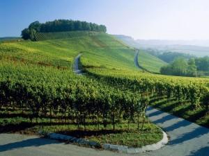 Postal: Camino entre los viñedos