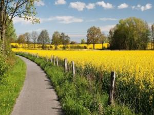 Postal: Camino junto a un campo de colza
