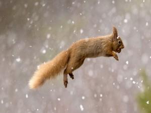 Ardilla saltando bajo la nieve con una avellana en la boca