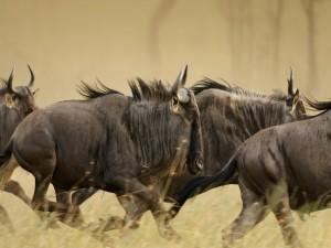 Manada de ñus corriendo por la sabana