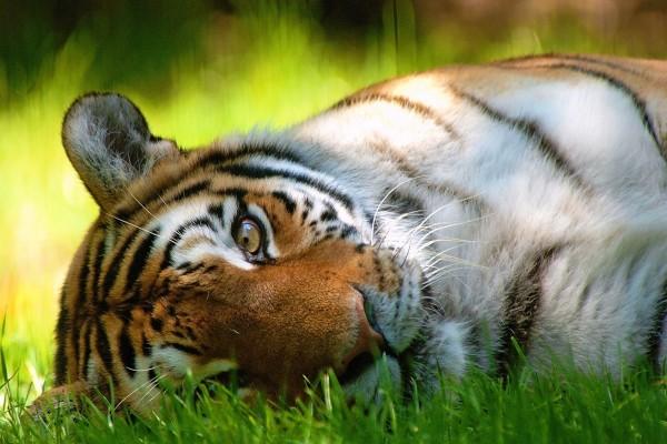 Tigre descansando sobre la hierba
