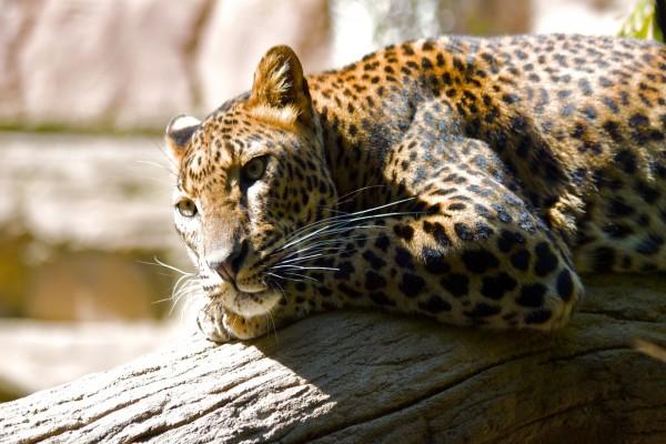 Leopardo calentando su cuerpo al sol