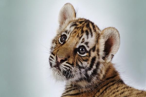 Un hermoso cachorro de tigre