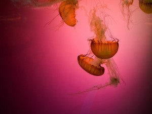 Postal: Un grupo de medusas