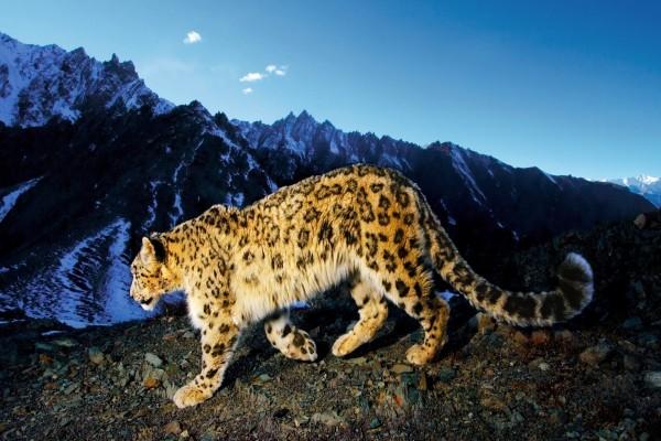 Leopardo caminando bajo unas grandes montañas