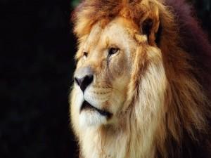 Postal: La cara de un hermoso león
