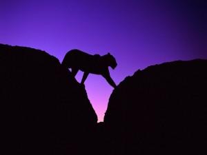 Postal: Leopardo caminando entre dos rocas