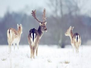 Postal: Ciervos en invierno