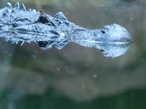 Libélula posada en la cabeza de un cocodrilo