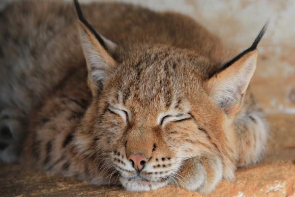 Un lince dormido