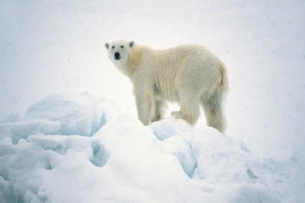 Nieva sobre un oso polar
